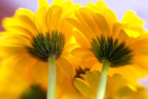 Yellow Daisies II by LDFranklin