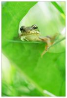 Little frog by devknu