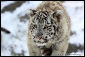 White tiger cub I by AF--Photography