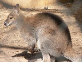 walbee little kangroo by butterflywoman04