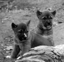New Guinea Pups B and W by Macropus-Rufus
