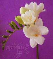 Freesia by CitricLily
