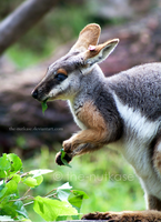 Yellow-Footed Rock Wallaby by The-Nutkase