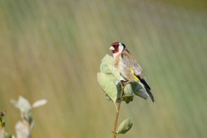 European Goldfinch by duncan-blues
