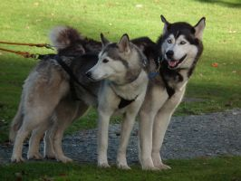 huskies at wray castle 3 by harrietbaxter