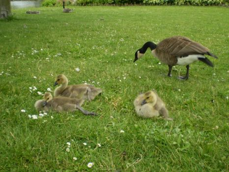 Baby Geese by satin-doll