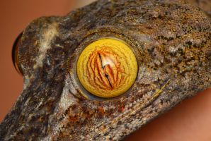 Uroplatus fimbriatu by Blaklisted
