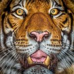 Tiger Portrait by RoyalImageryJax