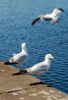 Seagulls by umboody