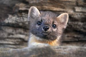 Noble-Marten1 by brijome