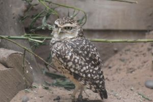 Burrowing Owl by lucky128stocks