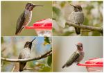 Vagrant Anna's Hummingbird by WanderingAlbatross