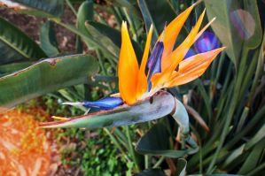 Birds of Paradise by alaniz25