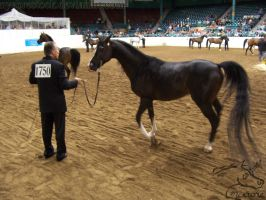US Nationals - Halter 10 by Nyaorestock