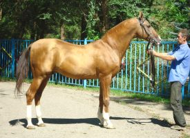 Gazanch, Stavropol' Stud, akchalteke stallion by Martisia
