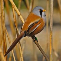 Bearded Tit. by quaddie