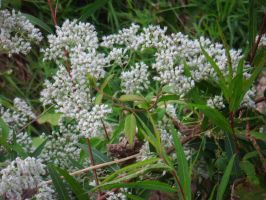 White Flowers by LLAP