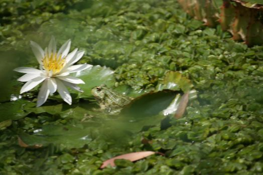view to waterlily and frog by ingeline-art