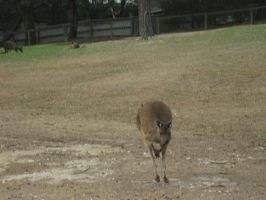 Wallaby-2-Stock by SilkenWebs
