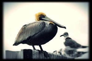 pelican stand out by TlCphotography730