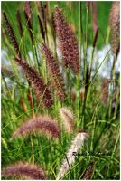 Autumn Grasses by Rebacan