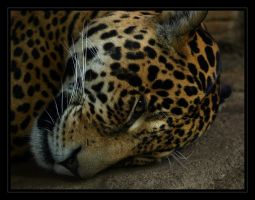 Jaguar, another close up by oOBrieOo
