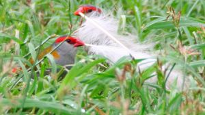 Firetail Feather Competition by LESHA