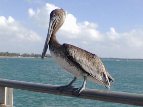 Free Stock Pelican by Whatsome