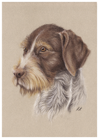 Wirehaired German Pointer by Kwazar