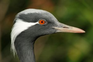 Demoiselle Crane by AllAboutBirds