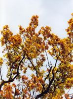 Golden oak leaves by Willowsmummy