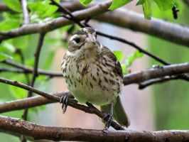 female purple finch by Nipntuck3