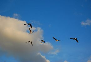 The Flying V and Migration by anavrinxtc