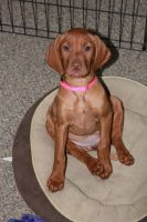 Ten week old Vizsla by LaurieSalzler
