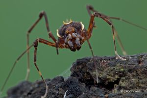 Opiliones by melvynyeo