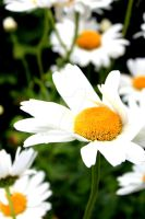Devon Daisies by JSWoodhams