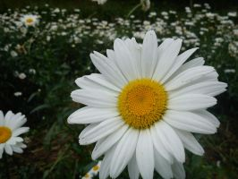 White Aster by LtCamouflage