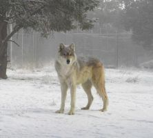 Lycea in the Snow by Wolf-of-Samhain