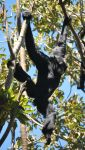 Siamang 4 by HymnsStock