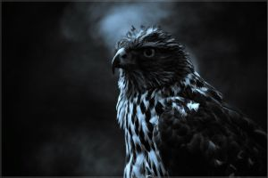 Painted Hawk Wallpaper by PimArt