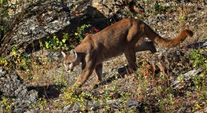 roaming puma by Yair-Leibovich