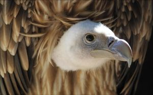 Himalayan vulture. by Evey-Eyes