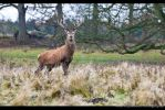 The Stag 145-12n by Haywood-Photography