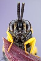 Chalcid wasp by ColinHuttonPhoto