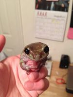 Sheldon the White's Tree Frog by ATCMetal