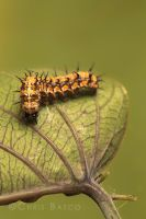 Caterpillar IV by CBasco