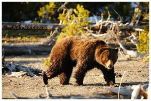 Grizzly Glance by Raymaker