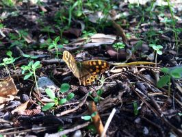 A speckled wood by SoularWolf4
