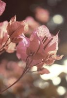 Pink Autumn by lomocotion