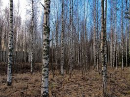 Birch forest by m-ika